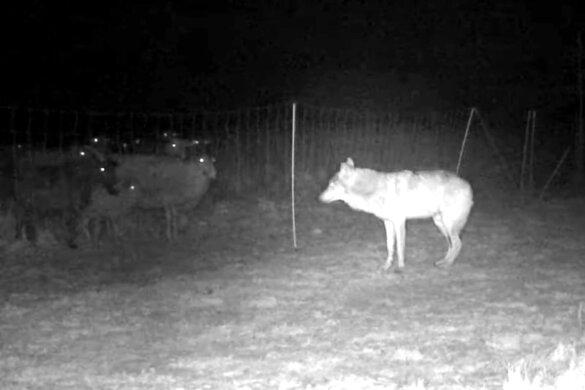 Veluwse wolf oog in oog met resolute moeders - schapen achter schrikdraadhek
