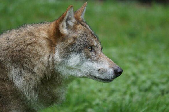 mogelijk illegale jacht op wolf