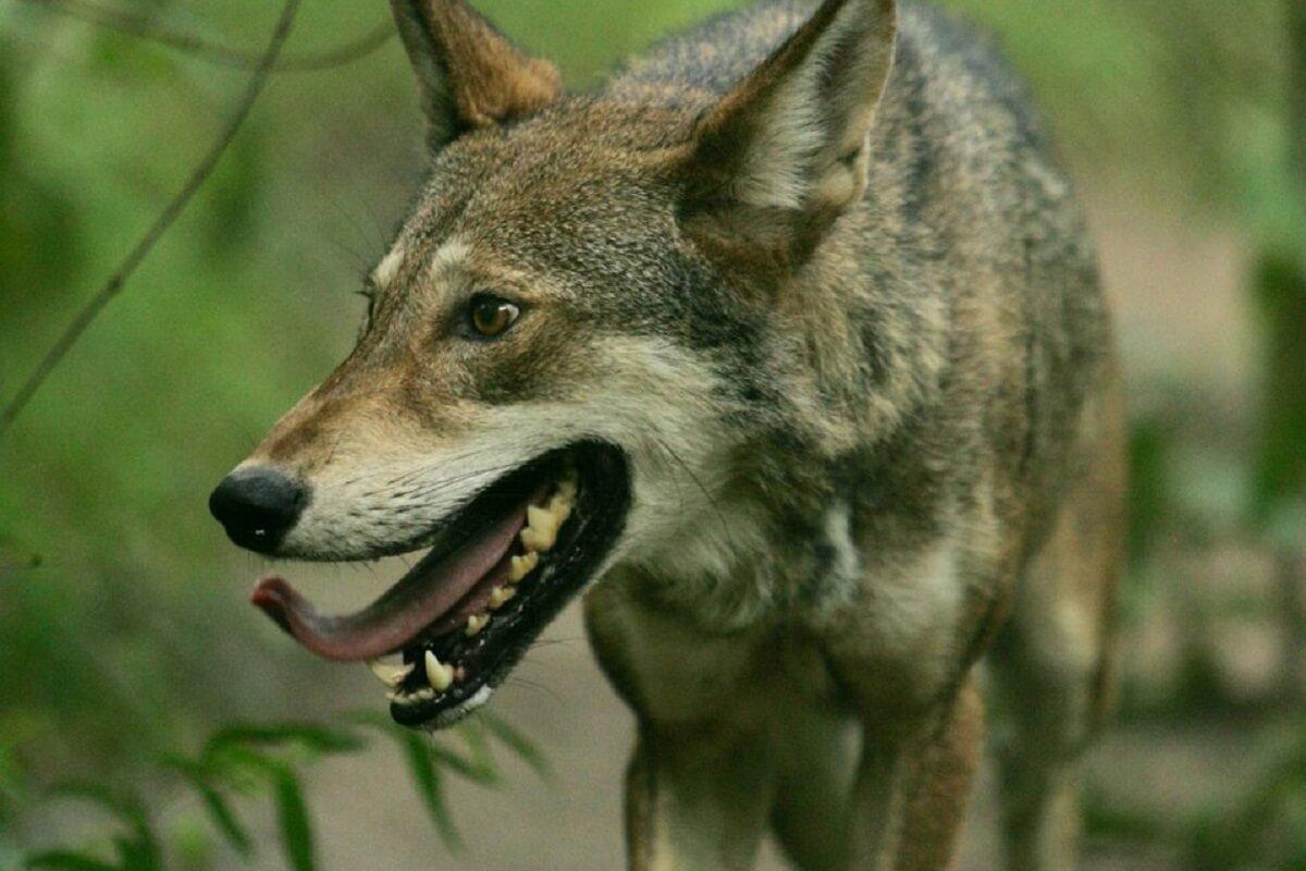 Wolf hoogste bescherming in Vlaanderen