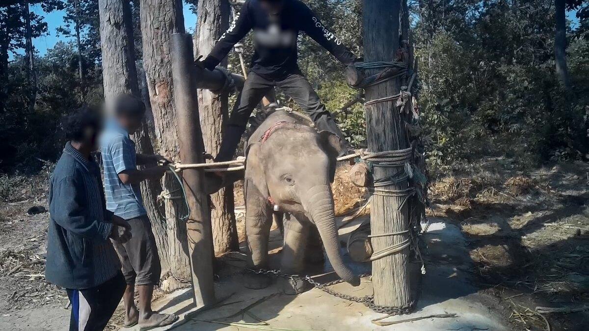 De wil van baby-olifanten wordt gebroken in 'the crush'
