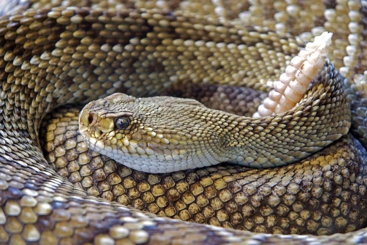 ratelslangen