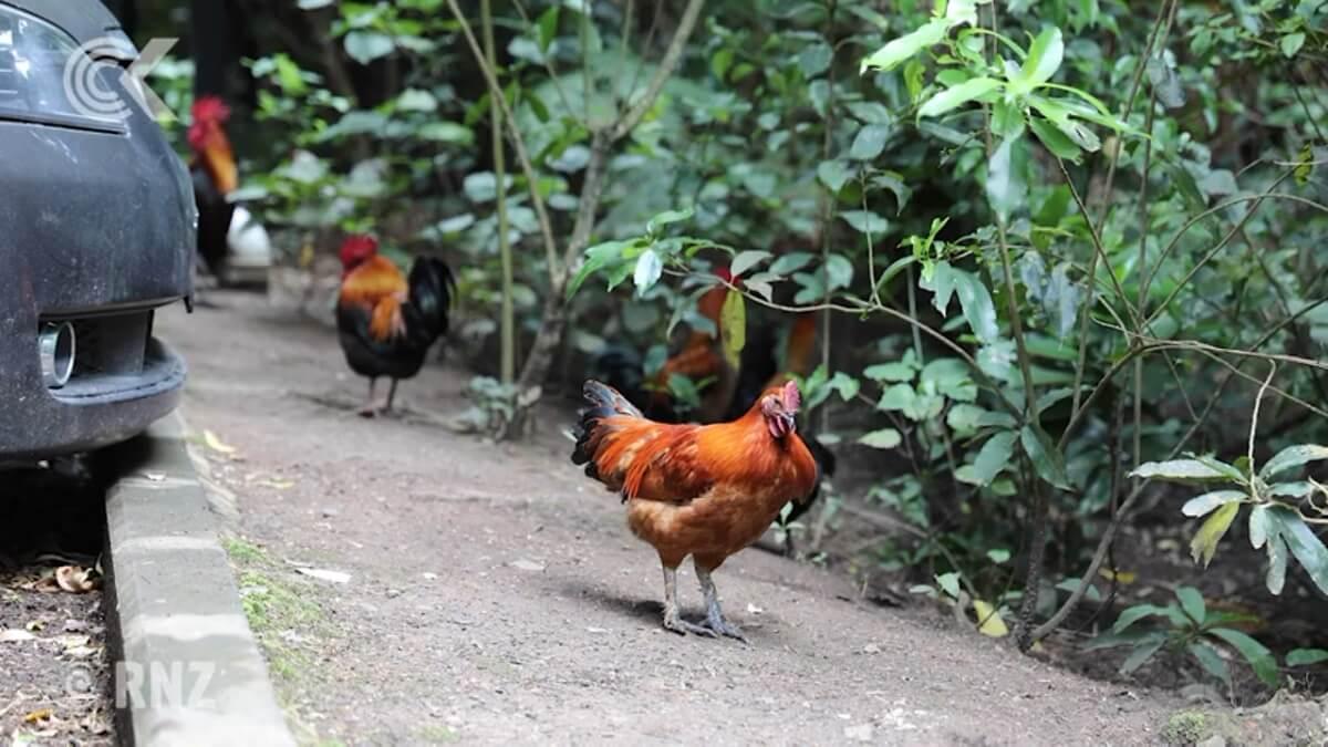 verwilderde kippen