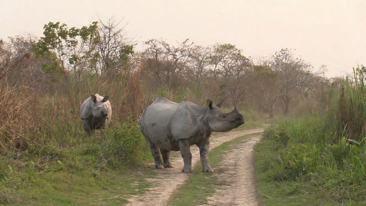 zeldzame Indische neushoorns Assam