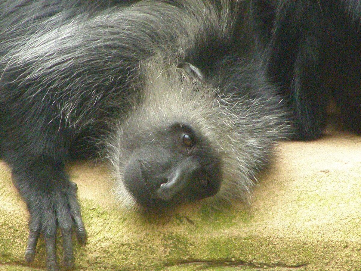West-Afrikaanse franjeaap