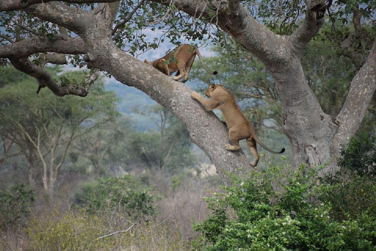 leeuwen in Oeganda