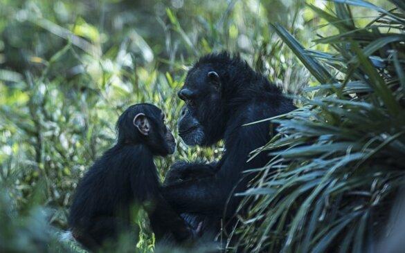Wereld Chimpansee Dag