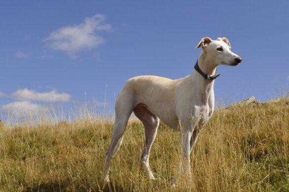 Argentijnse racehonden krijgen eigen advocaat