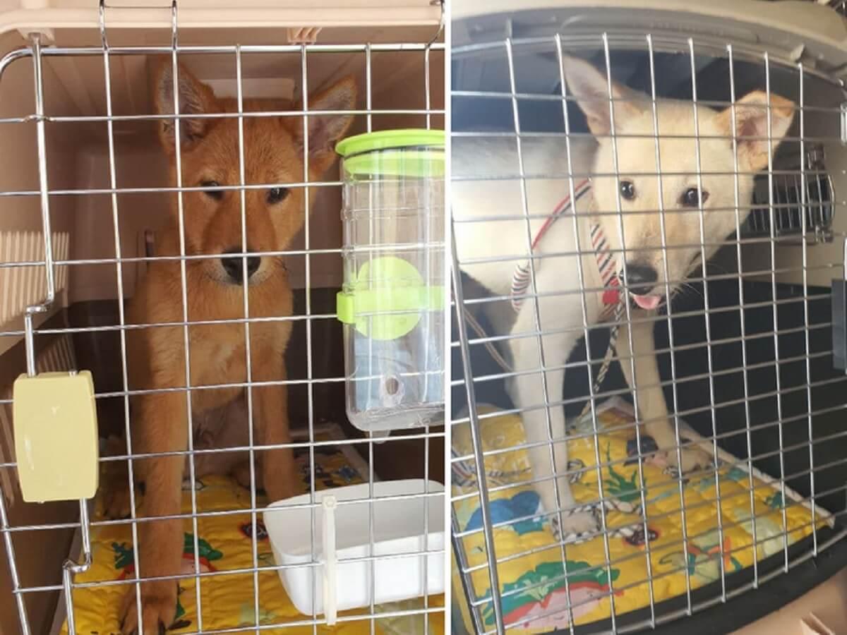 Jack en Nabi gered van hondenvleeshandel Zuid-Korea