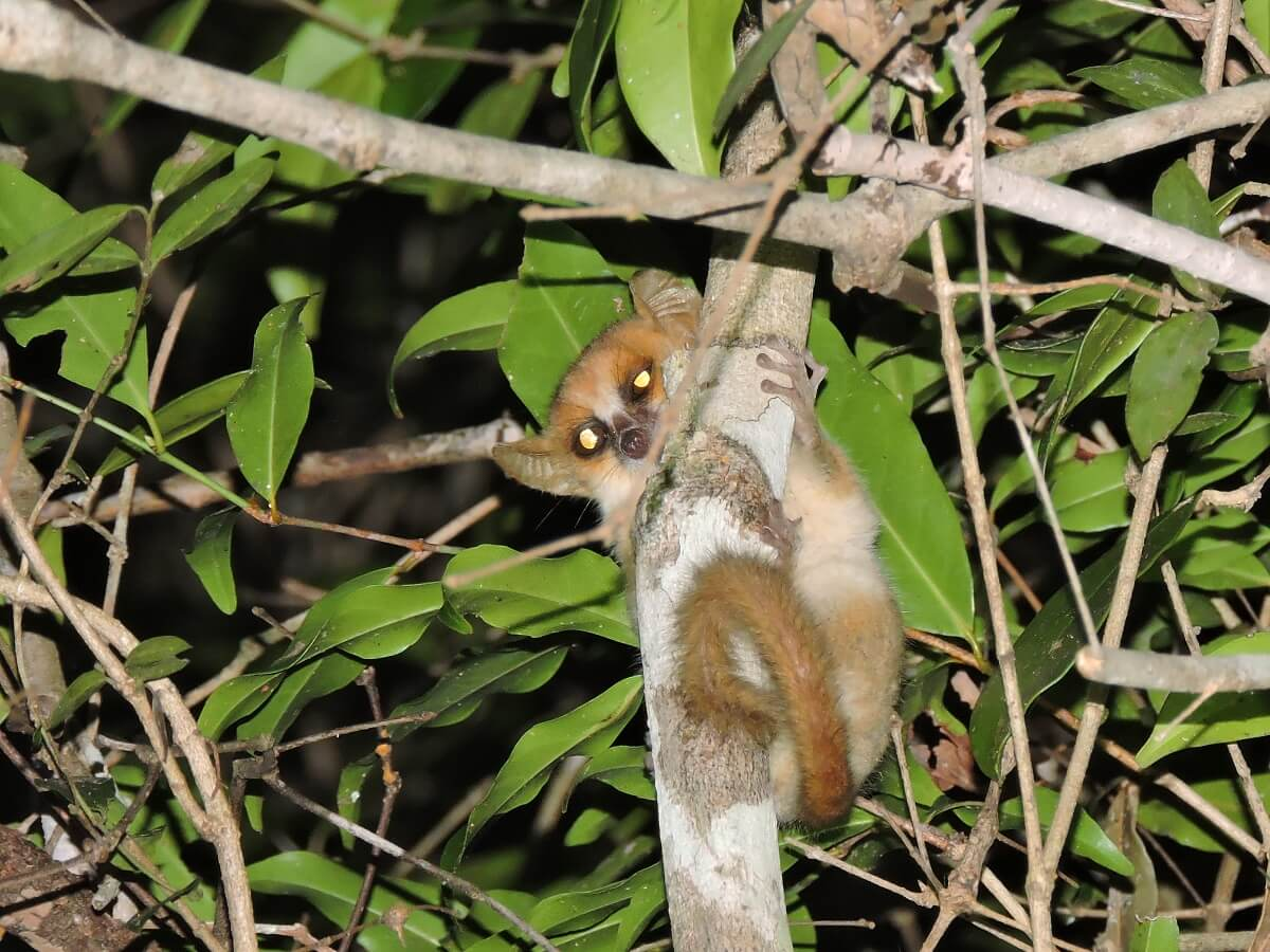 Lemur Microcebus berthae
