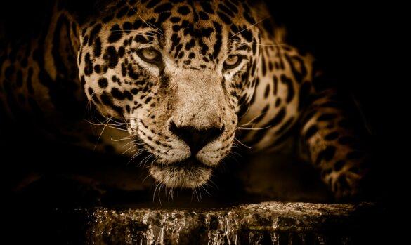 Bedreigde jaguar