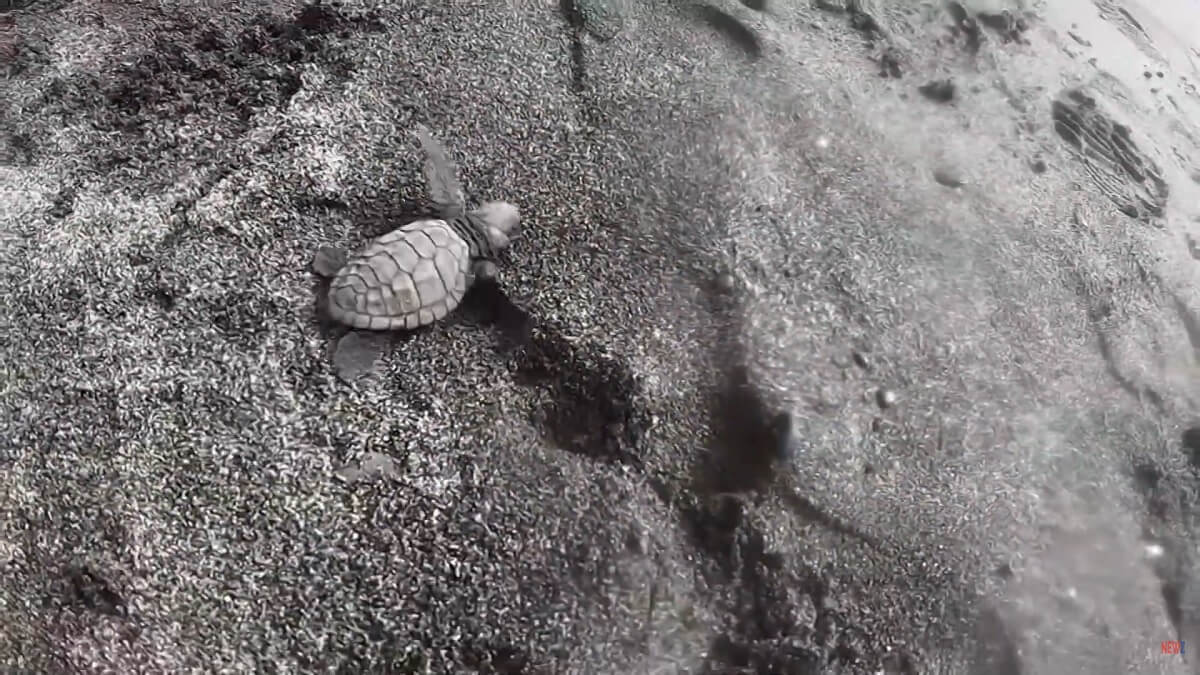 vrijlating babyschildpadjes Bali