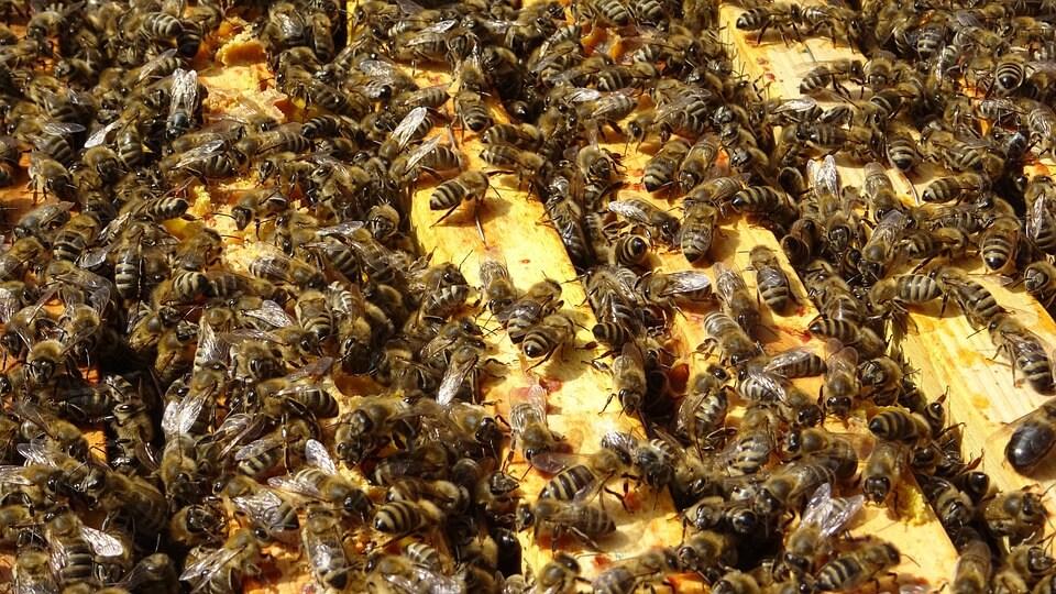 half miljoen bijen gered
