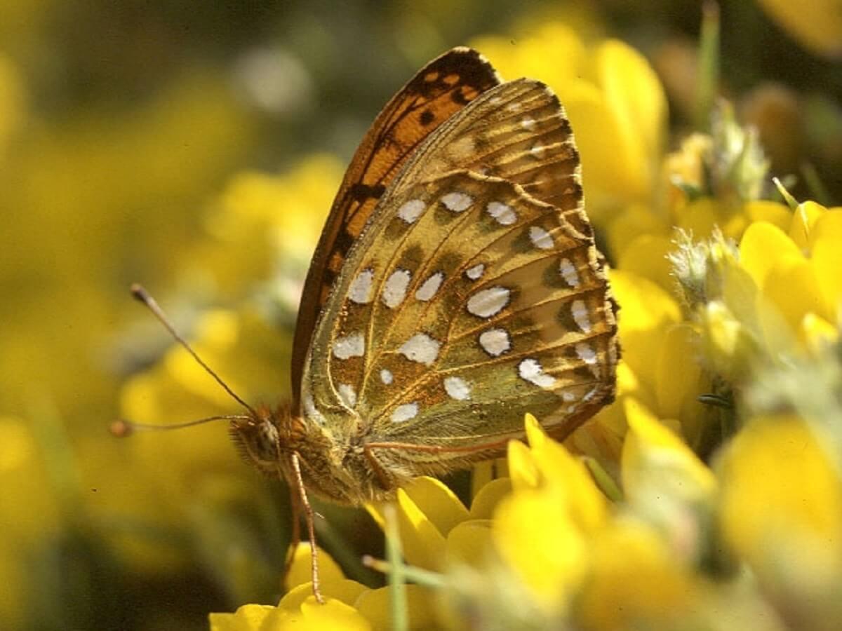 vlinders in Nederland