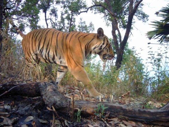Indo-Chinese tijger