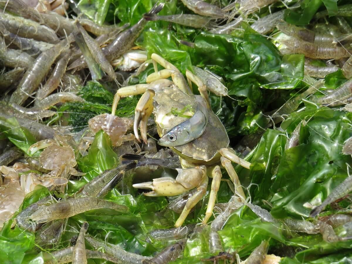 garnalenvissen
