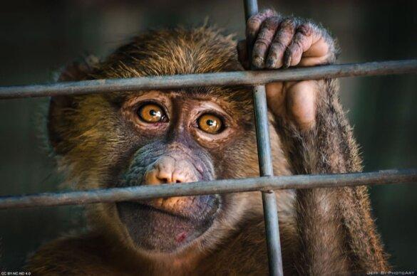 dorstige apen