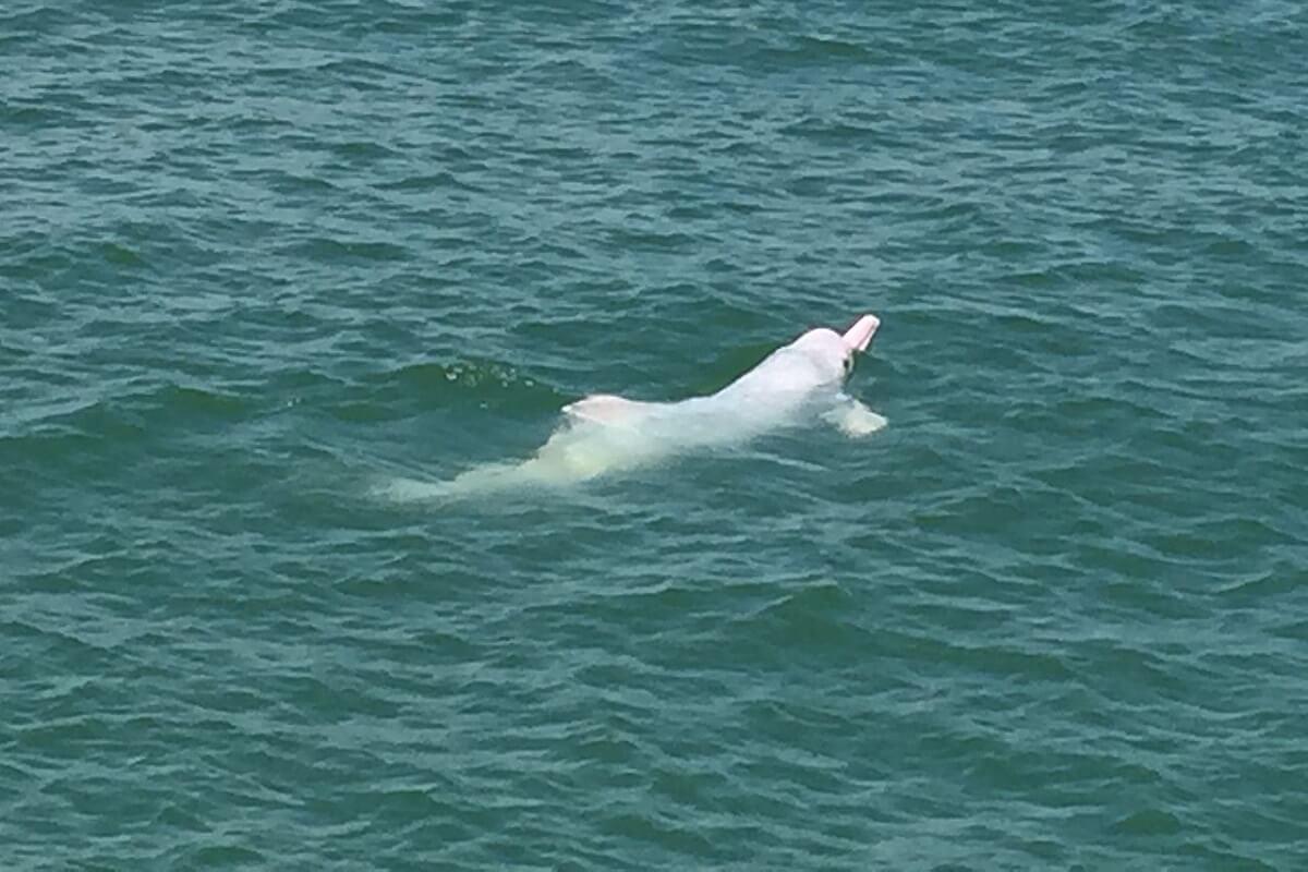 Chinese witte dolfijn