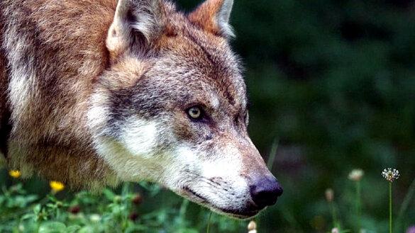 Over de wolf en de zeven edelherten