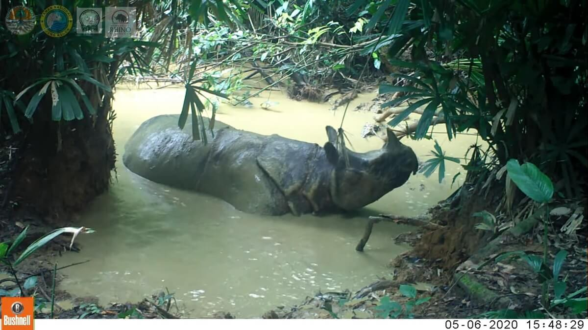Javaanse neushoorns