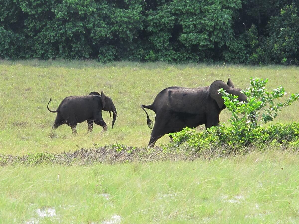 honger olifanten Gabon
