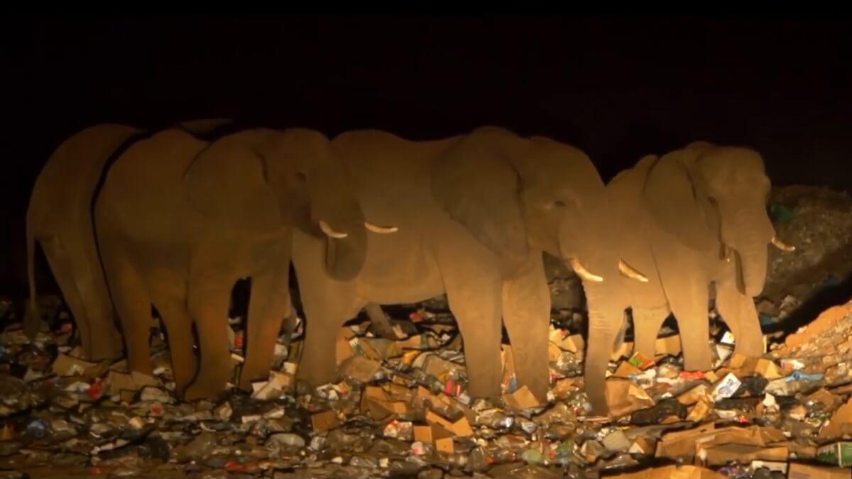 olifanten eten plastic afval