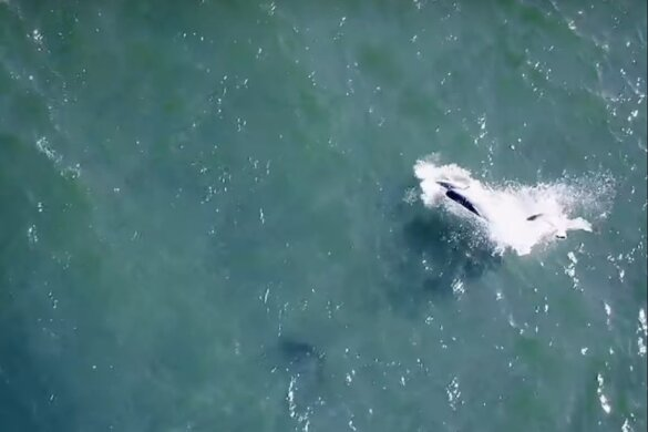Parende bruinvissen in Oosterschelde