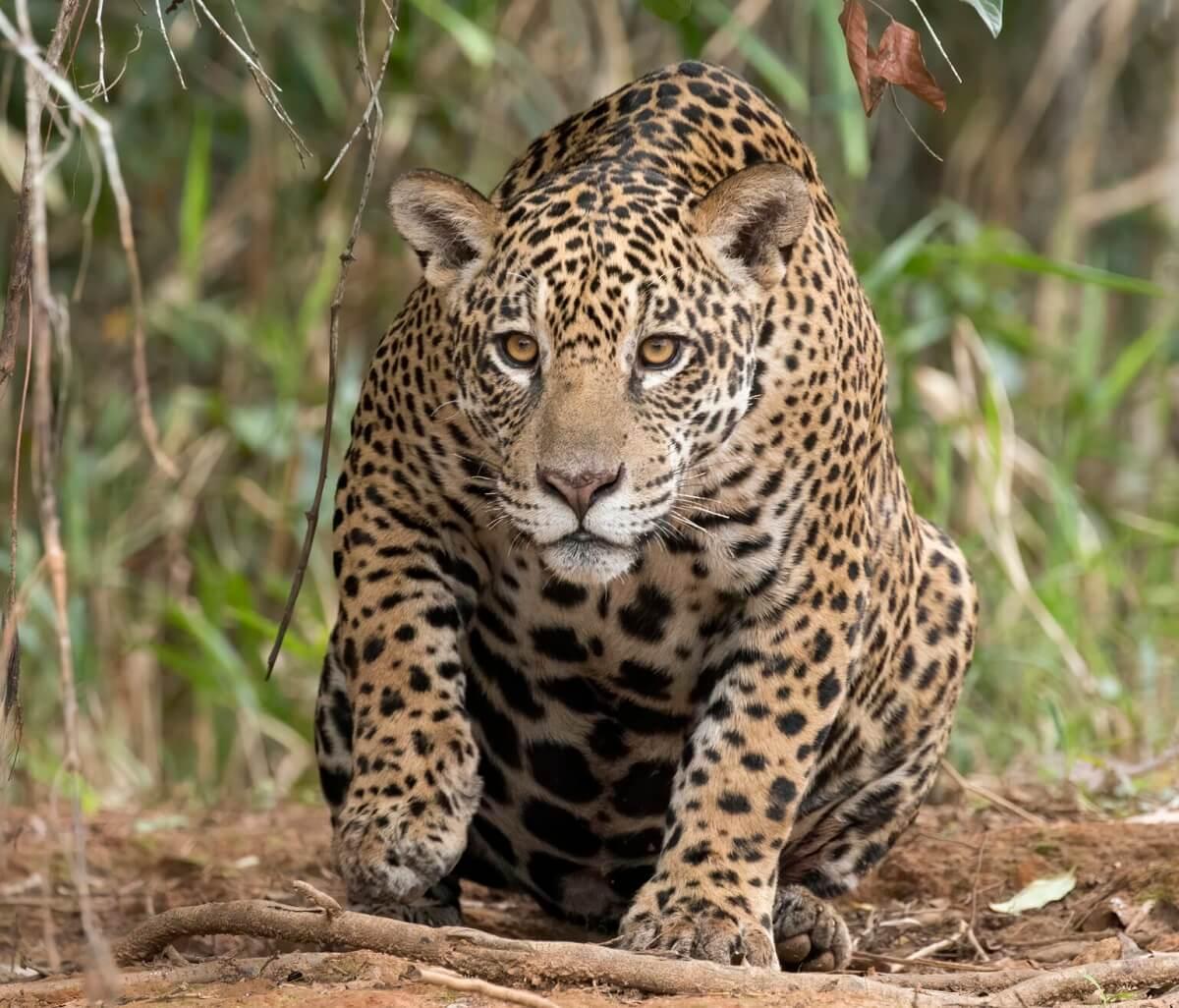 jaguarsmokkel