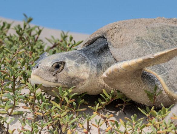 351 zeeschildpadden