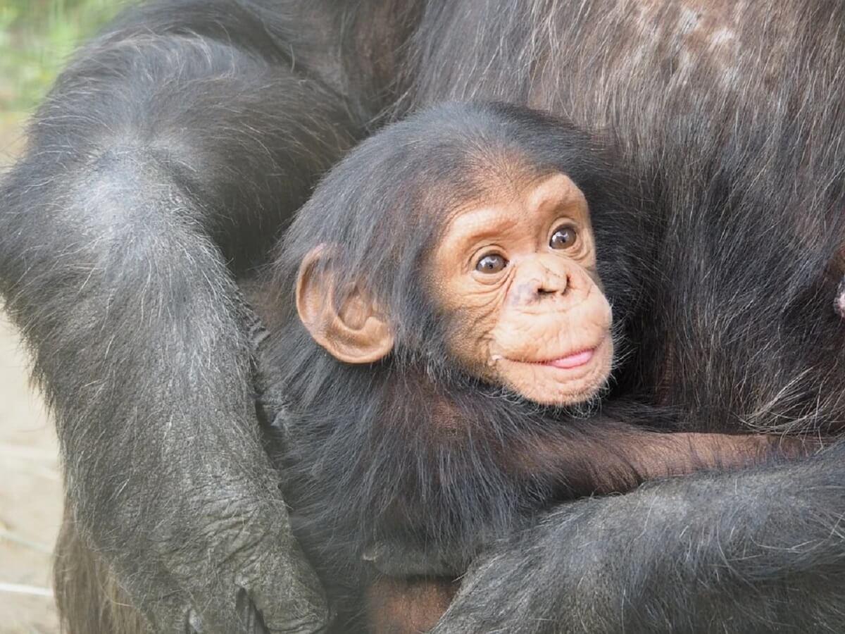 babychimpansee gered van smokkelaars