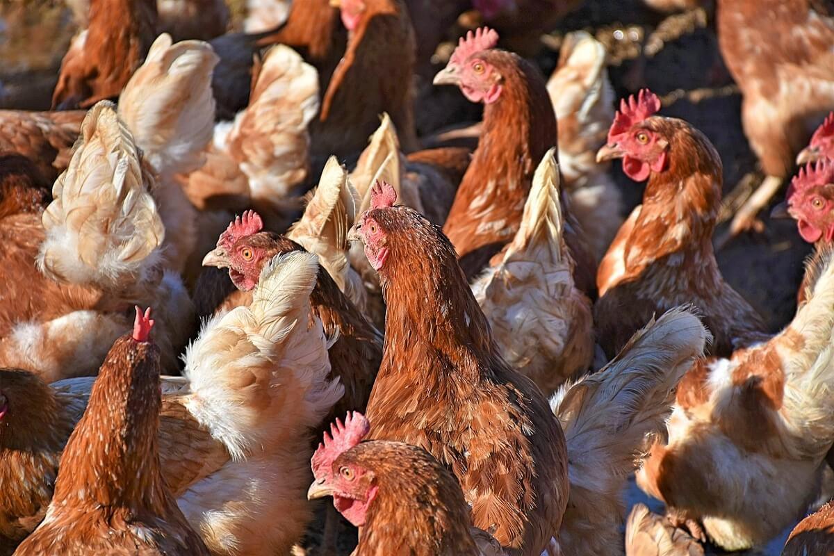 vogelgriep kippen zitten binnen