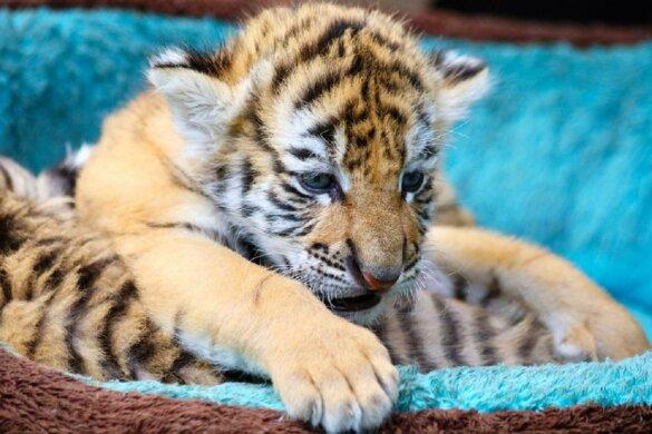VS hel voor tijgers