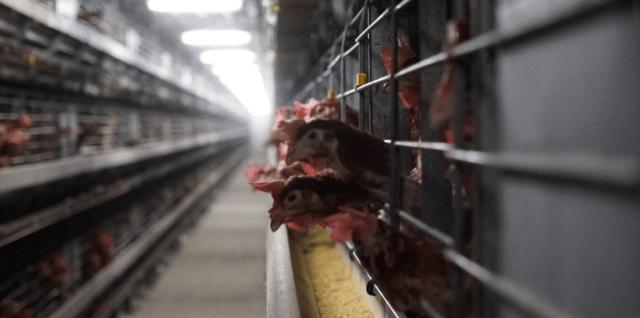 Kooihuisvesting kippen