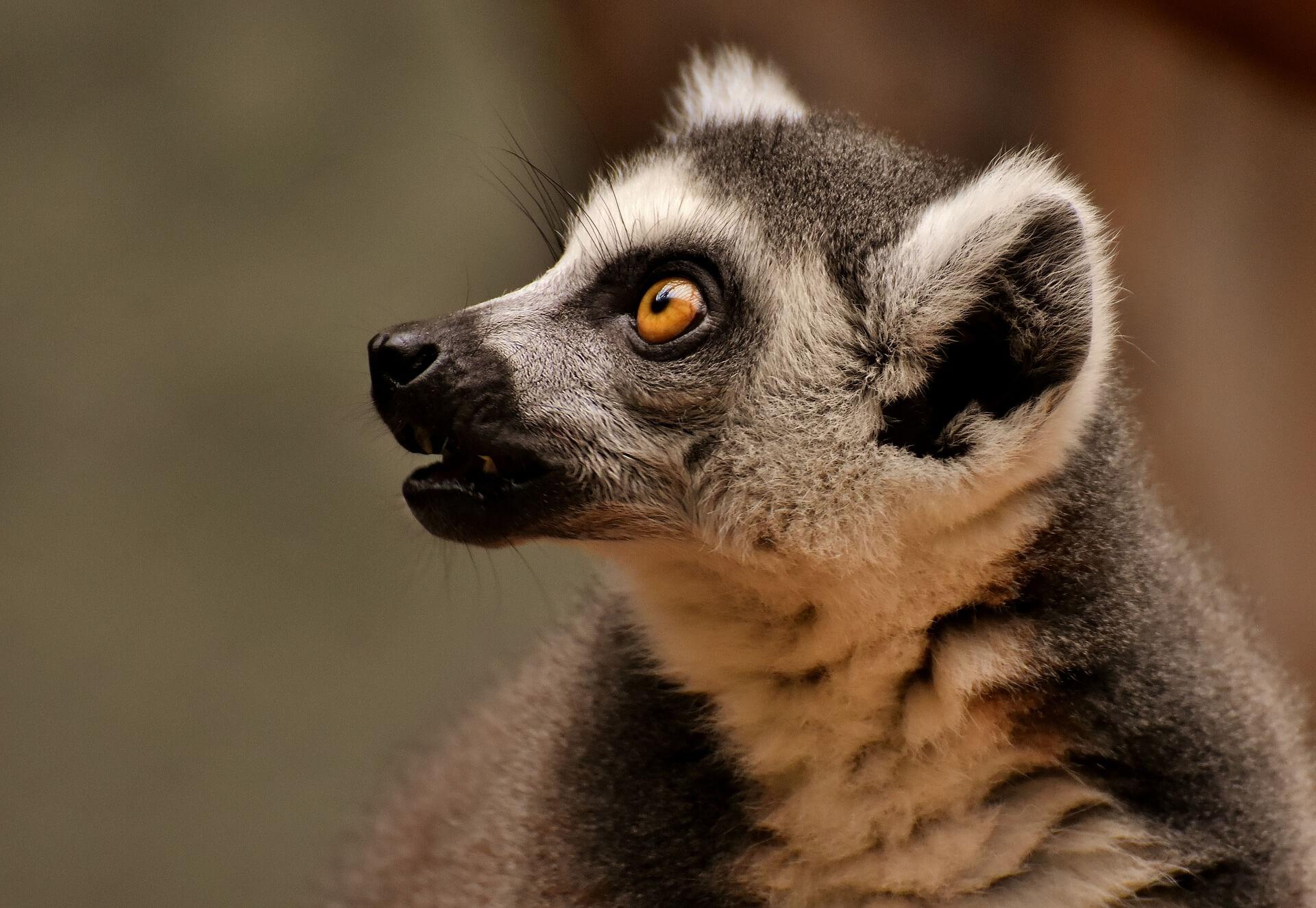 Bedreigde lemuren