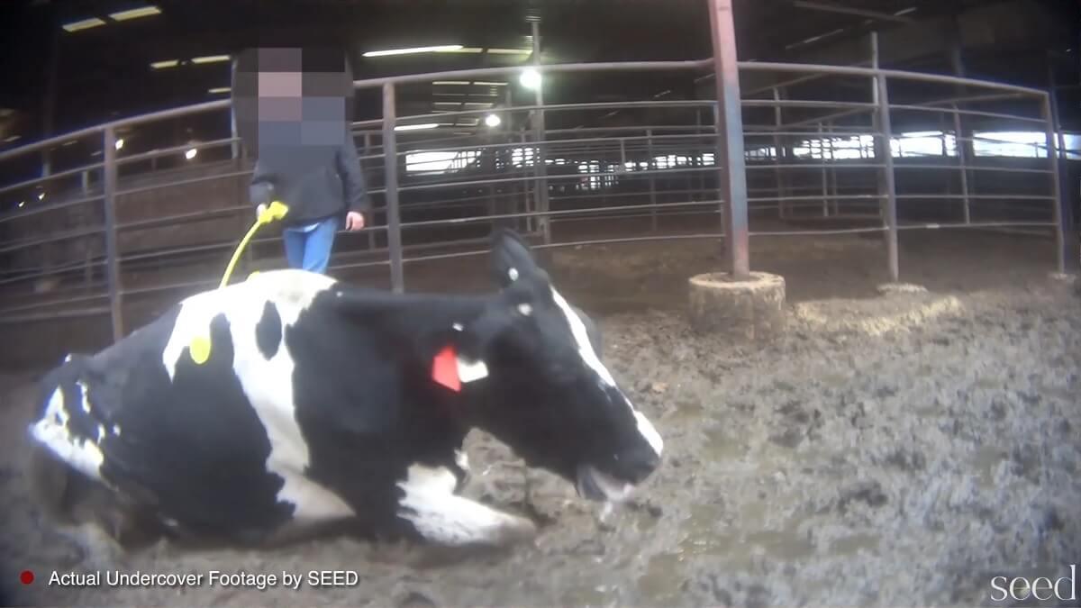 Dierenmishandeling en fraude op veemarkt VS