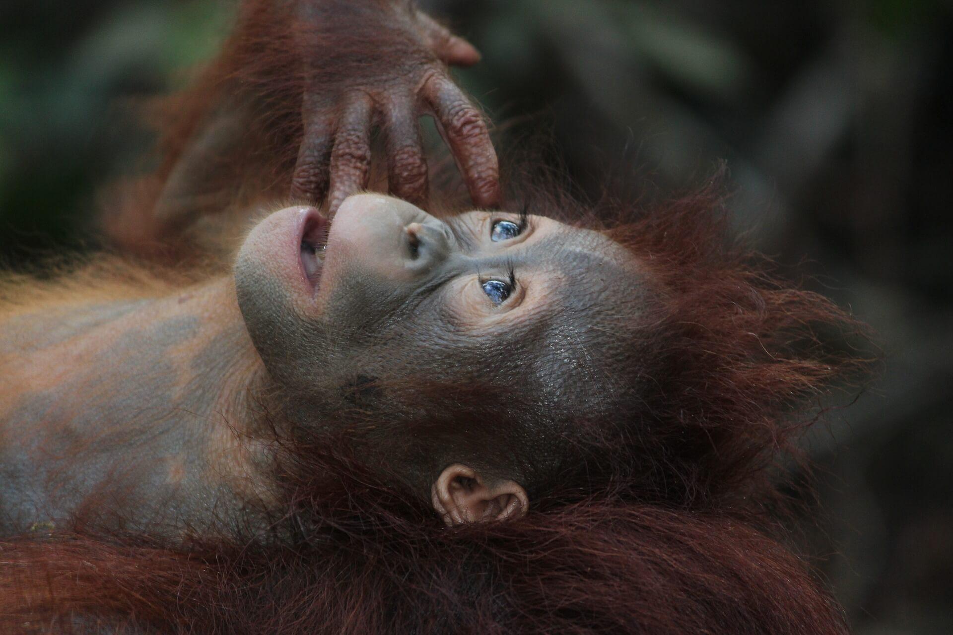 Hulp aan orang-oetang