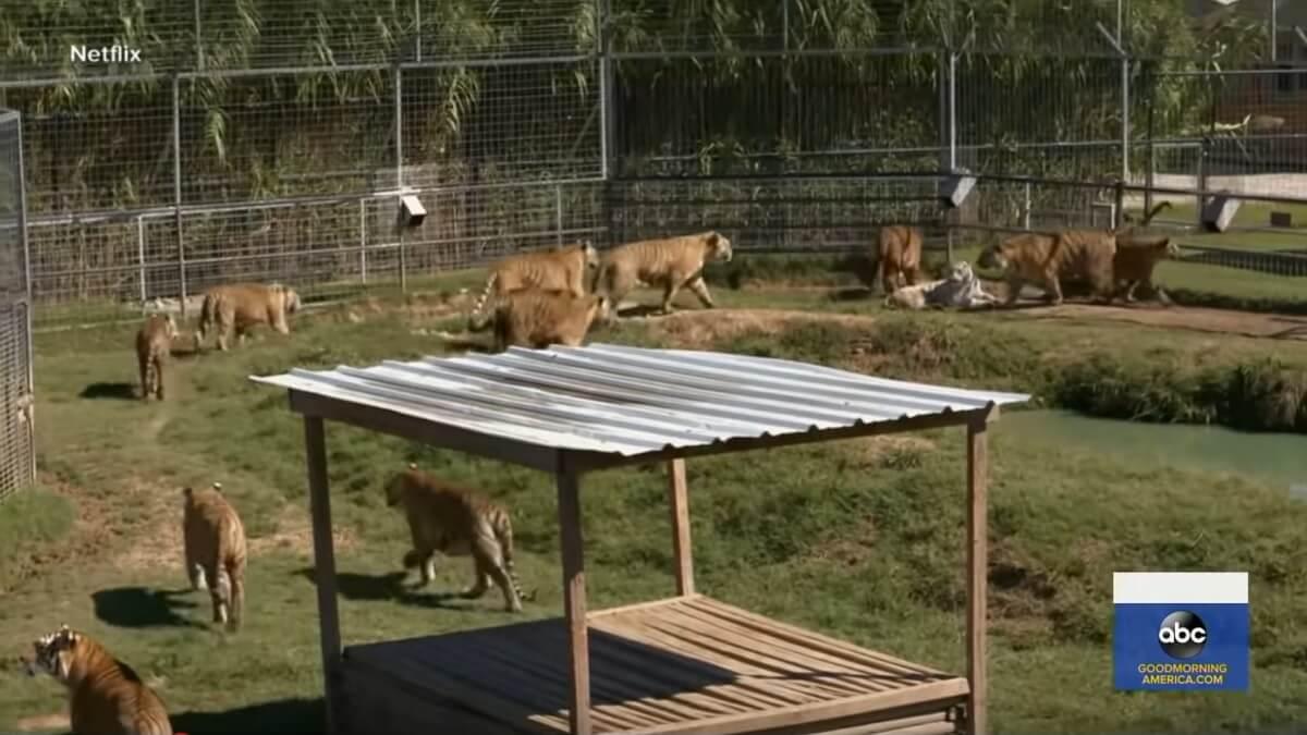 tijgers in privébezit VS