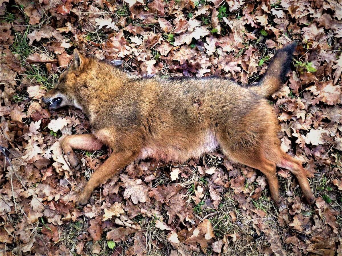 nachtelijke vossenjacht