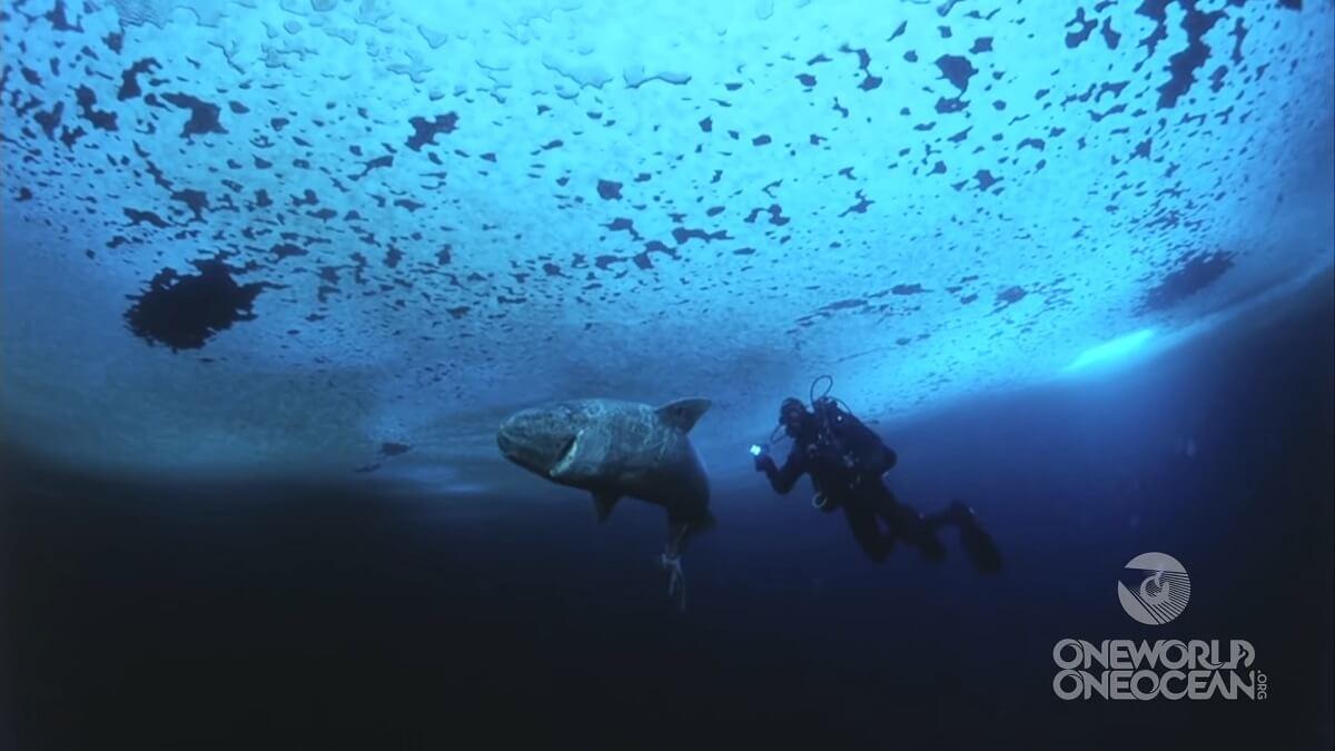 Groenlandse haai