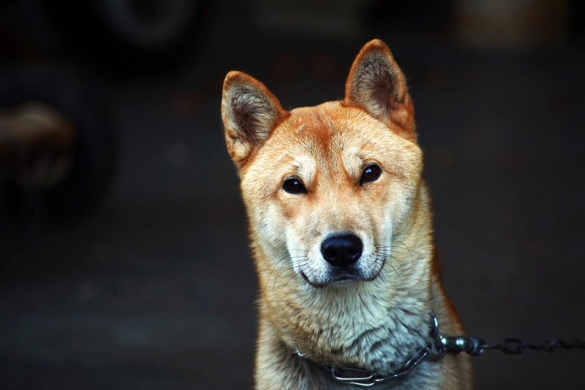 geen hondenvlees meer voor meeste Zuid-Koreanen