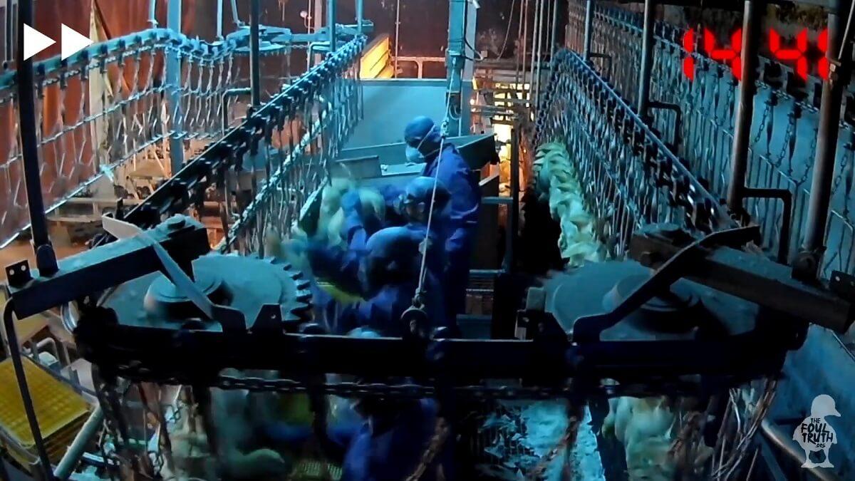 eenden in Engeland mishandeld voor de slacht