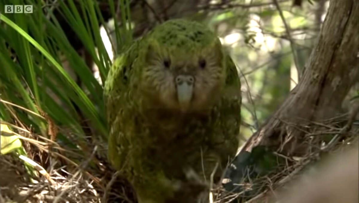 kakapo's