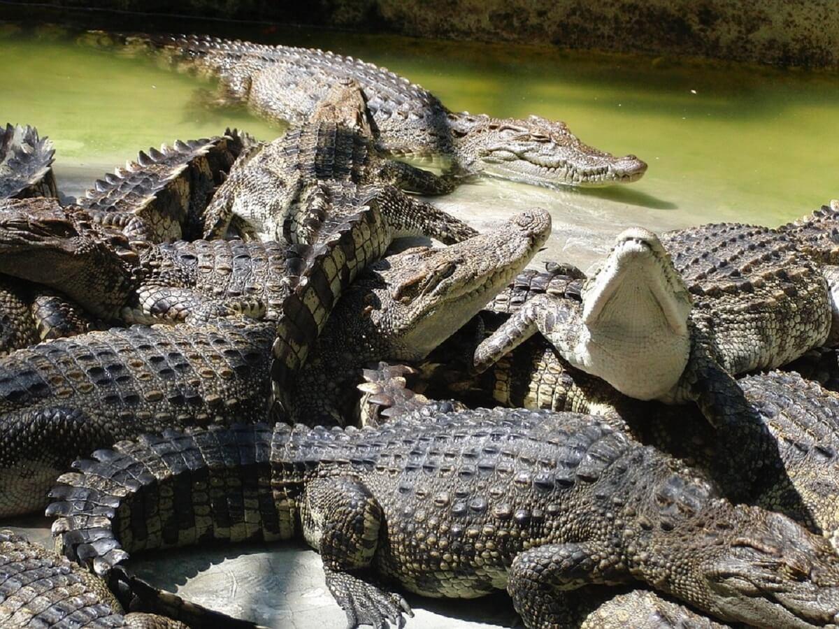 50.000 krokodillen