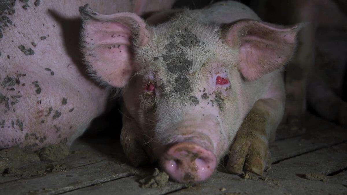 gruwelijk varkensleed in Spanje