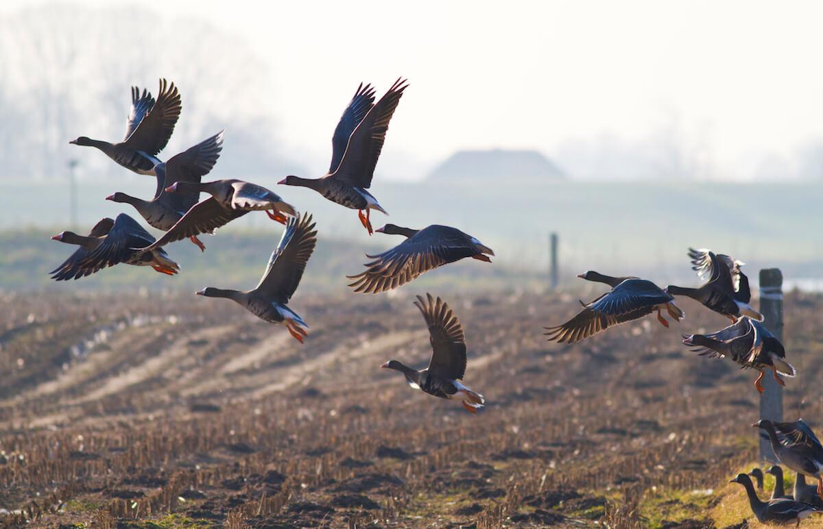 vogelgriep onder wilde vogels