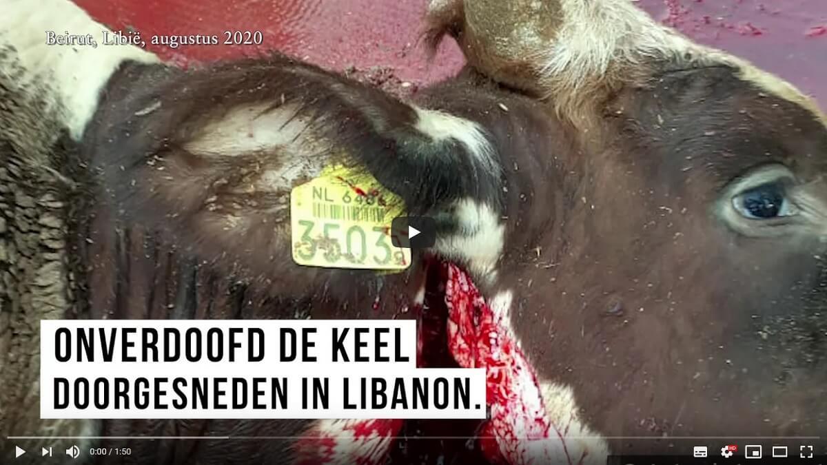 Nederlands vee naar horrorslachthuizen Libië en Libanon