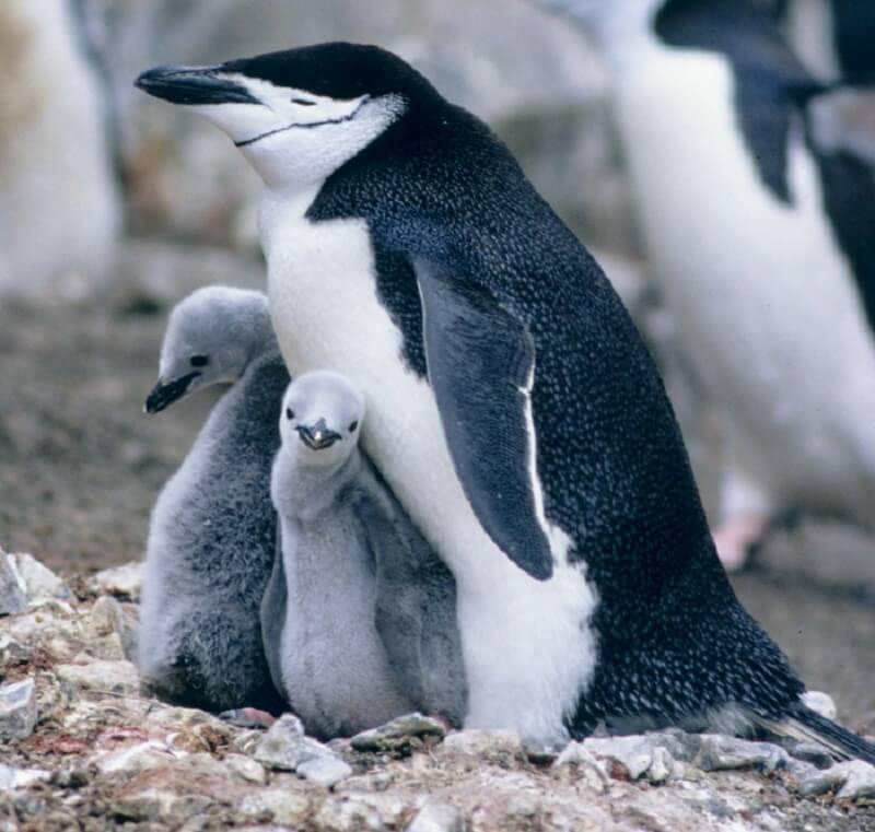 grootste ijsberg bedreigt zeehonden en pinguïns