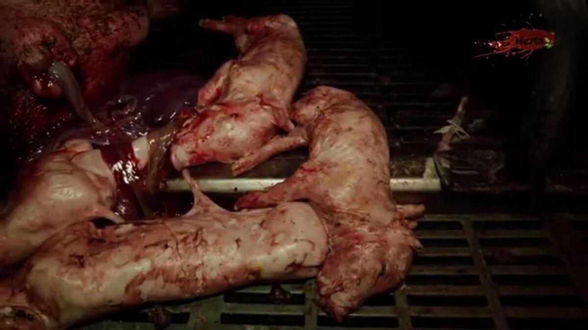 dierenleed in Franse varkenshouderij