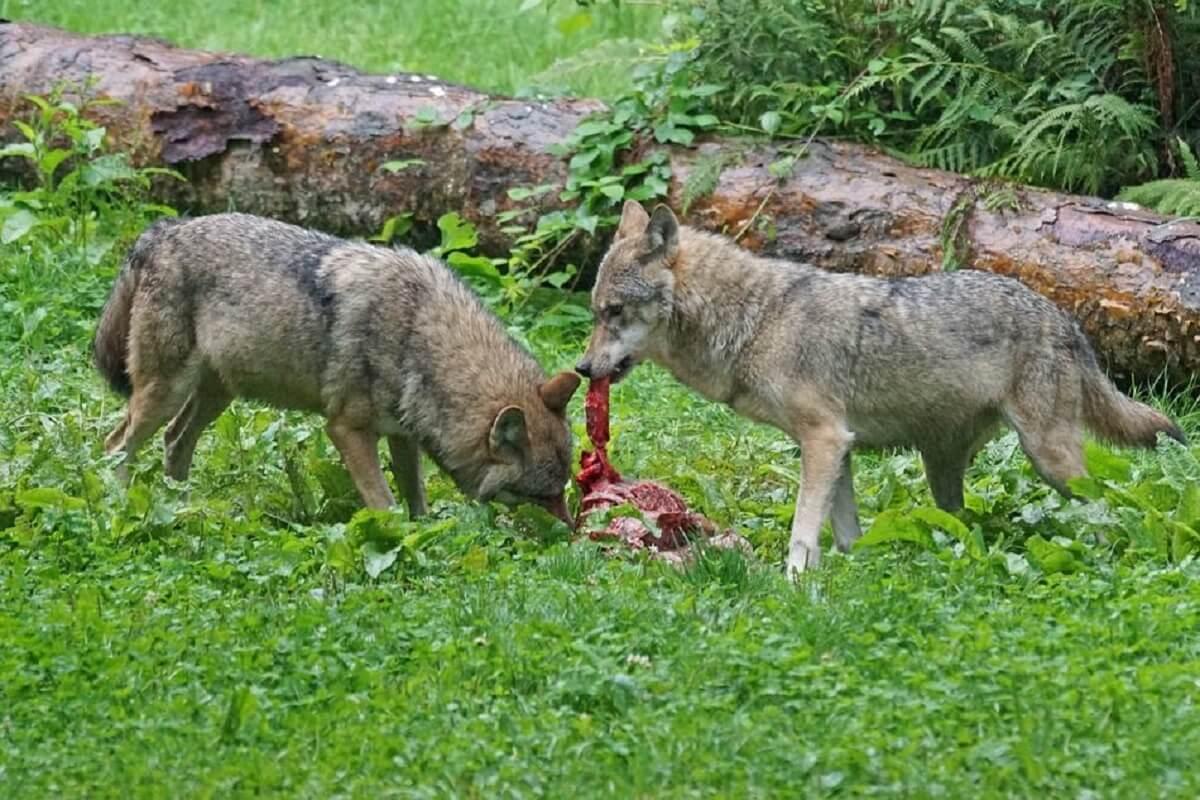wolven afleren schapen te doden