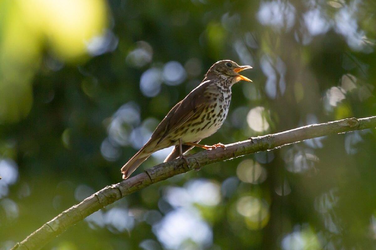 zangvogels zingen lager dan verwacht als ze een partner zoeken