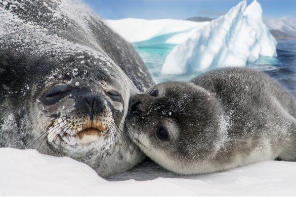 Grootste ijsberg bedreigt duizenden zeehonden en pinguïns